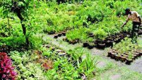 রংপুরের পীরগাছায় নার্সারী করে সফলতা পেয়েছে শান্ত নার্সারী